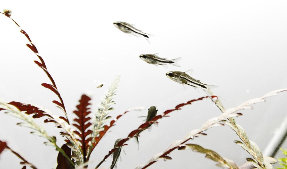 Corydoras pygmaeus – Zwergpanzerwelse