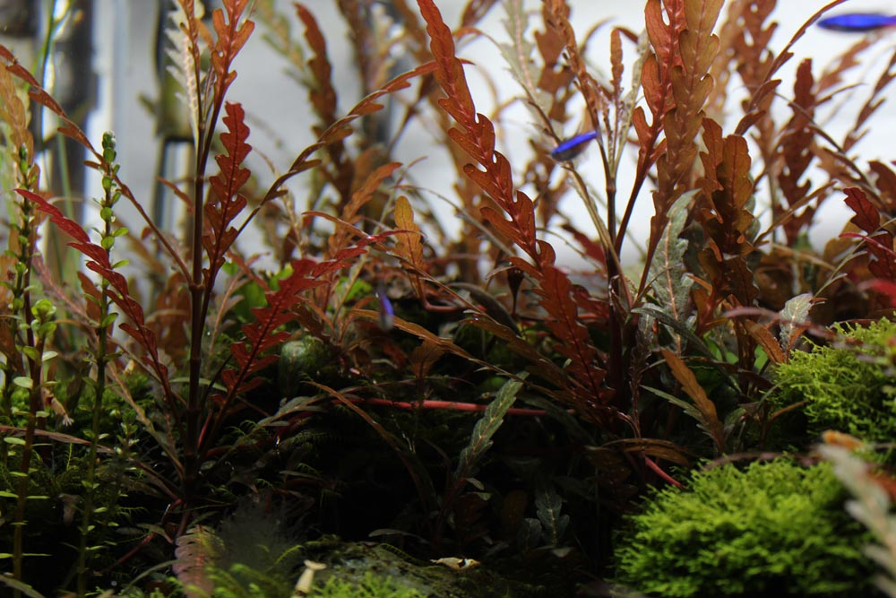 Eine tolle rote Aquariumpflanze