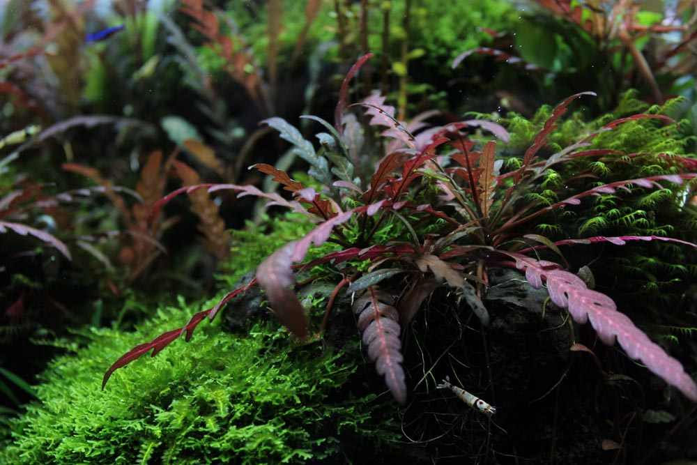 Hygrophila pinnatifida auf Lavastein gewachsen