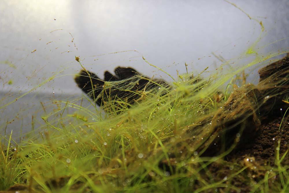 wie algen bek mpfen im aquascaping mini l. Black Bedroom Furniture Sets. Home Design Ideas