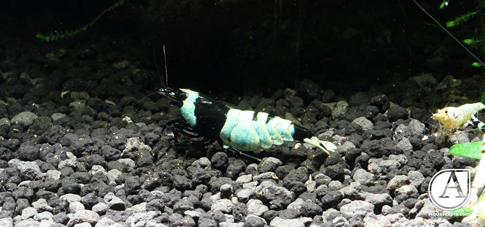 Taiwanbee-Weibchen