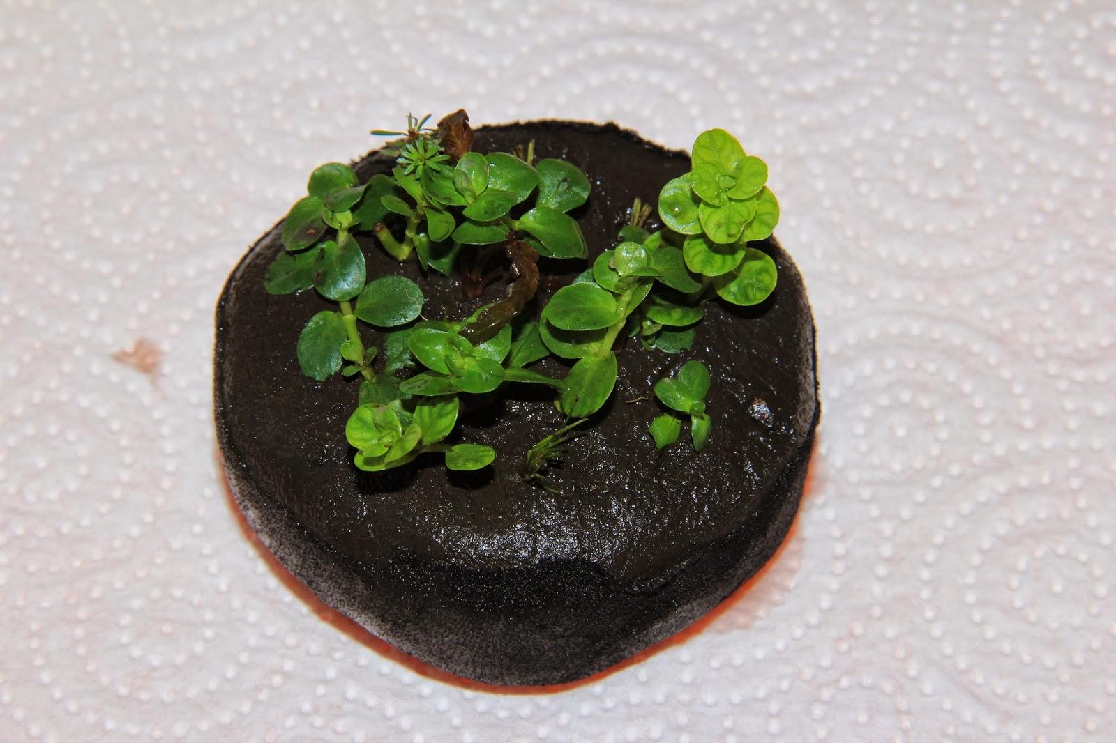 Rotala sp green Wabikusa
