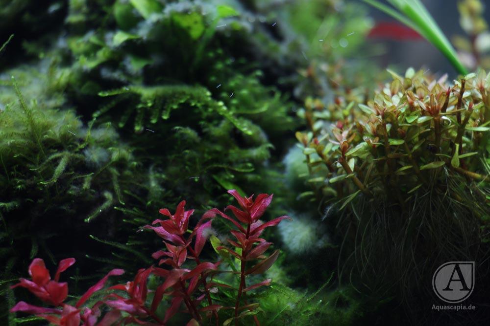 Ludwigia repens mini und Ammania sp. bonsai nach Rückschnitt