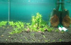 bodendecker im aquarium top pflanzen f r rasen im aquarium. Black Bedroom Furniture Sets. Home Design Ideas