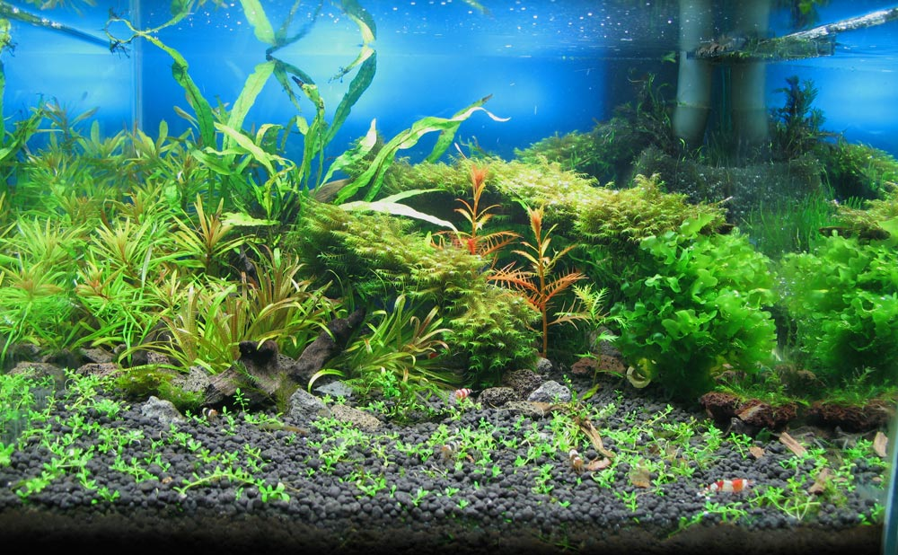 Bodendecker Immergrün Schnellwachsend: ᐅ Bodendecker Im Aquarium ... Begehbare Bodendecker Rasenersatz Pflanzen