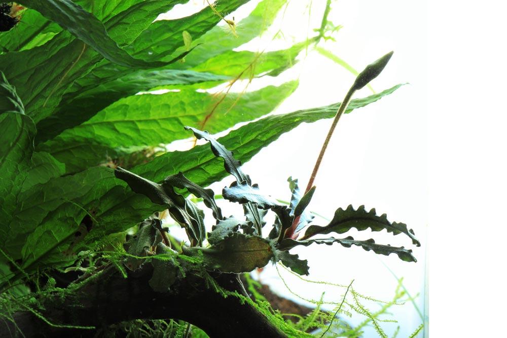 Bucephalandra auf Wurzel gebunden