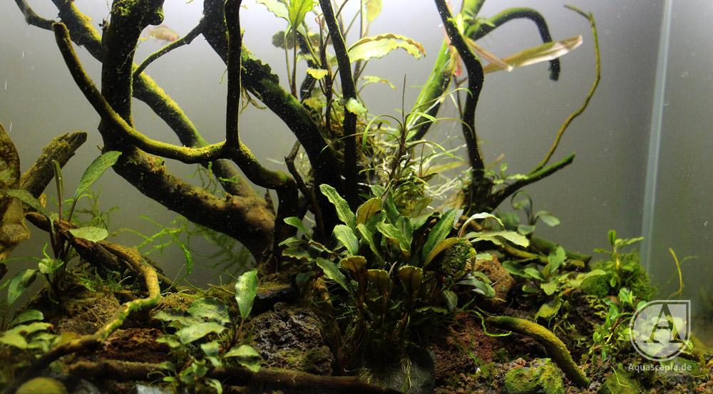 Bucephalandra-Becken im Detail