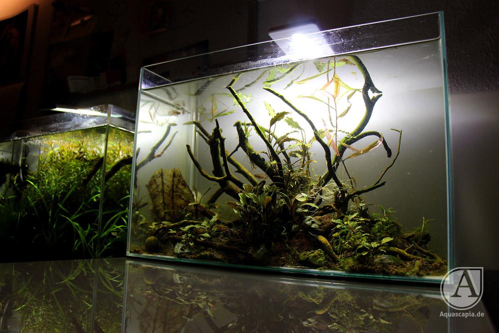 Bucephalandra-Aquacape von der Seite