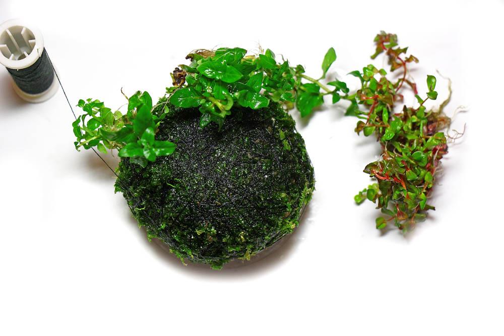 Pflanzen auf Wabi-Kusa binden