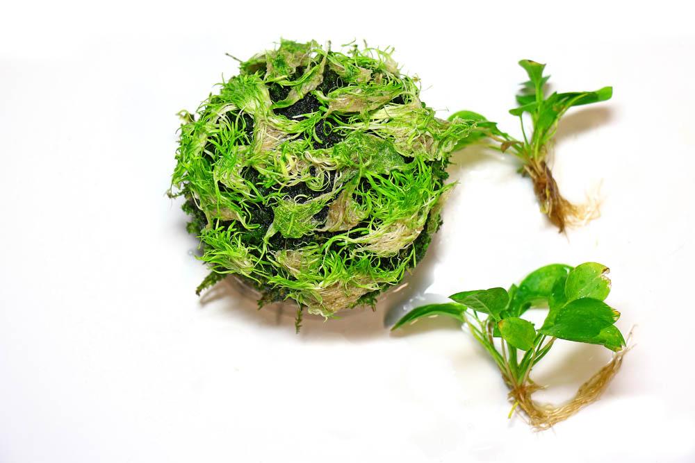 Utricularia graminifolia Wabi-Kusa
