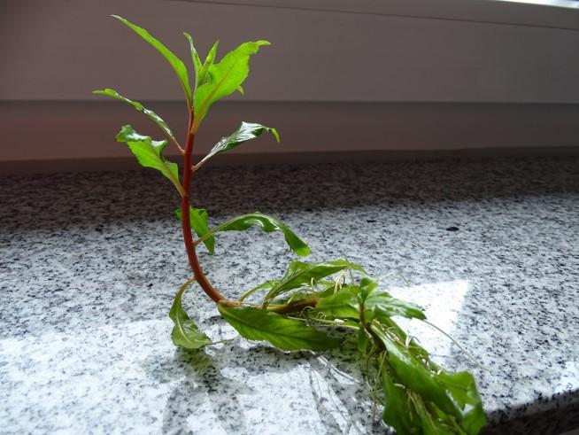 Emerse Pflanzen für das Wabi Kusa