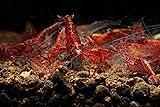 Garnelen Tom Red Fire Cherry Zwerggarnele, 10...