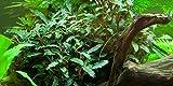 Tropica Aquarium Pflanze Bucephalandra sp. 'Red...