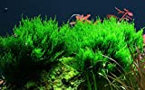 Tropica Aquarium Pflanze Moos Taxiphyllum 'Flame...