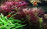 Tropica Aquarium Pflanze Limnophila hippuridoides...