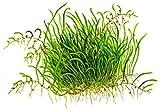 Ultricularia graminifolia