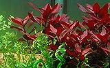 Tropica Aquarium Pflanze Ludwigia repens 'Rubin...