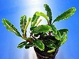 WFW wasserflora Bucephalandra sp. 'Green Velvet'...