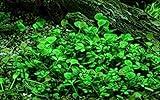 Tropica Aquarium Pflanze Marsilea hirsuta Nr.010...