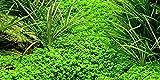 Tropica Aquarium Pflanze Hemianthus...