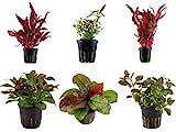 Tropica Pflanzen Set 6 schöne rote Topf Pflanzen...
