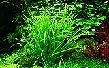 Tropica Aquarium Pflanze Helanthium tenellum...