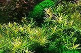 Tropica Aquarium Pflanze Rotala 'Vietnam H'ra...