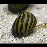 Vittina Coromandeliana - Zebra Rennschnecke - 10...