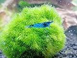 Topbilliger Tiere Blue Dream - Velvet Garnele -...