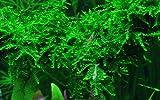 Tropica Aquarium Pflanze Moos Vesicularia ferriei...
