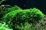 Tropica Aquarium Pflanze Moos Vesicularia dubyana...