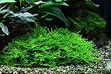 Tropica Aquarium Pflanze Moos Taxiphyllum 'Spiky...