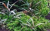 Tropica 1-2-GROW! Hygrophila pinnatifida -...