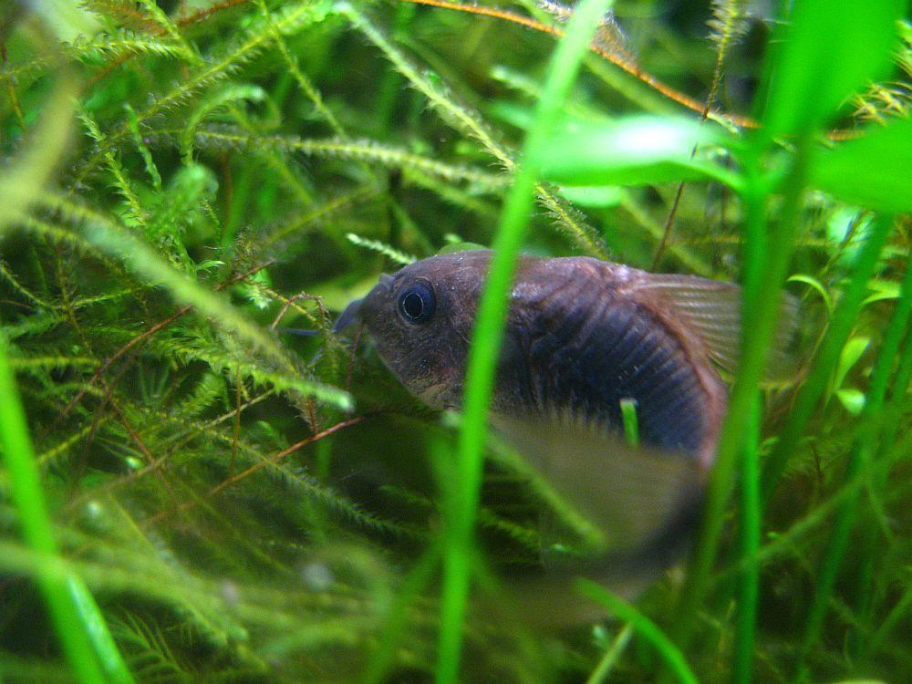 Fische passen sich nicht dem Aquarium an