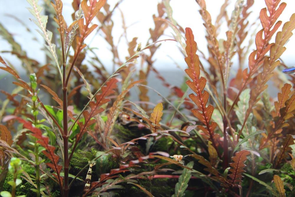 Hochwachsende Aquariumpflanze