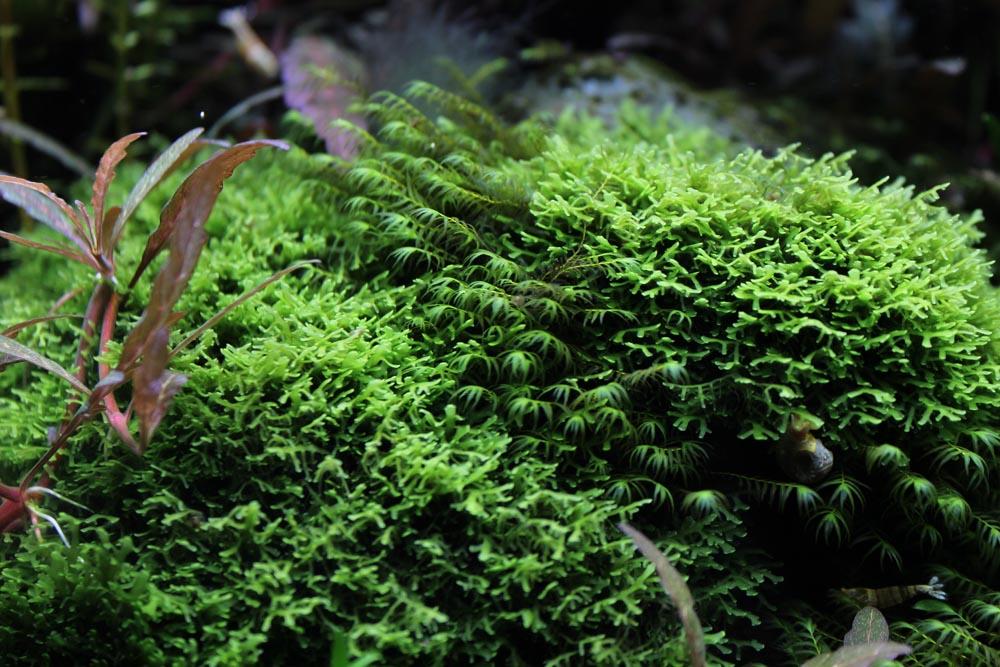 Fissidens fontanus und Riccardia charmedifolia