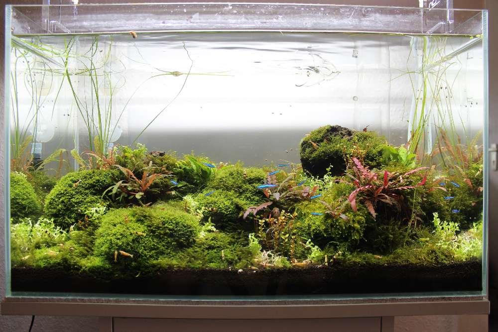 Becken nach Einsetzen der Ammania sp. bonsai