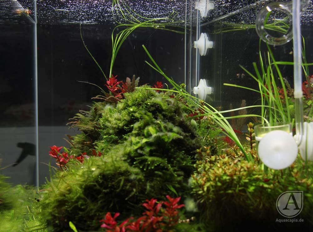 Ein Blick durch die Seitenscheibe des Aquascaping-Glasgarten