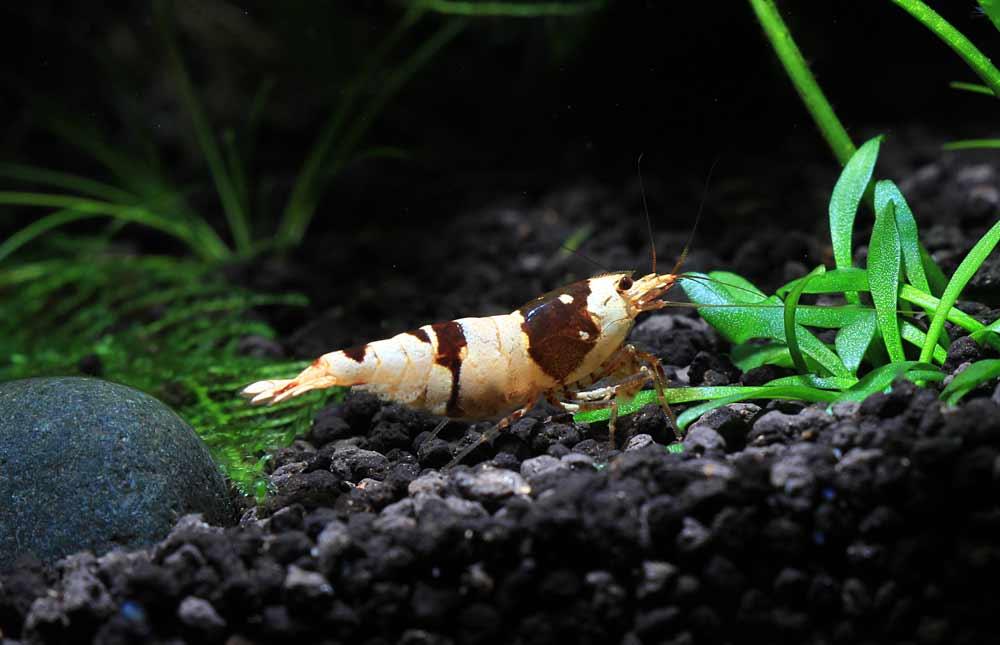 Twinstar Shrimp