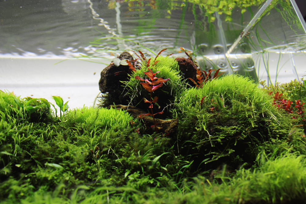 Dezente rote Highlights mit Hygrophila pinnatifida und Rotala macrandra
