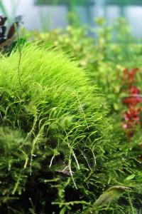 Ulticularia graminifolia legt richtig los!