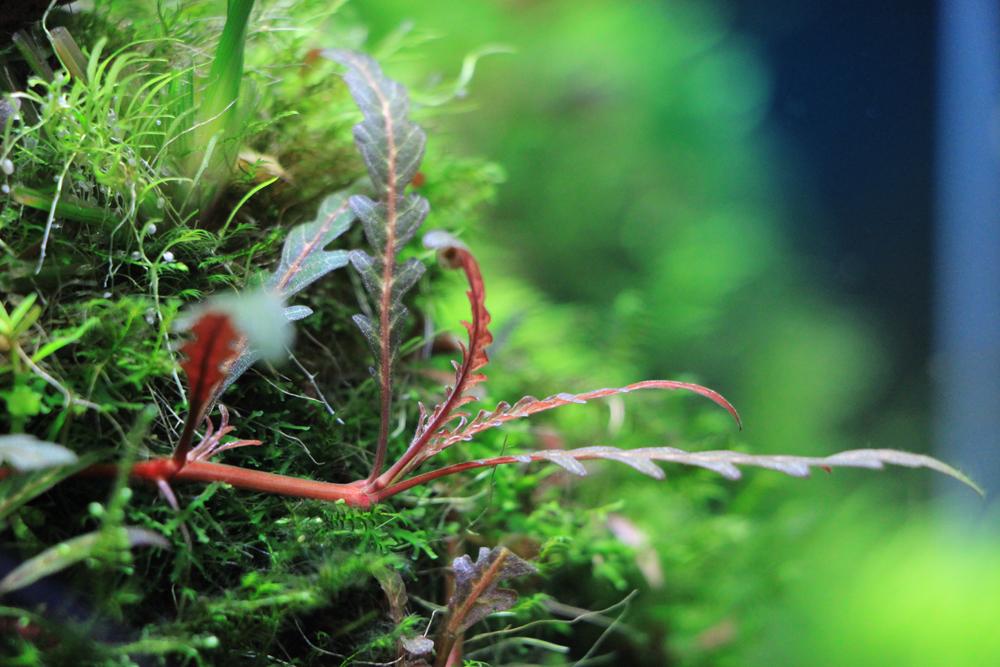 Frischer Trieb der Hygrophila pinnatifida