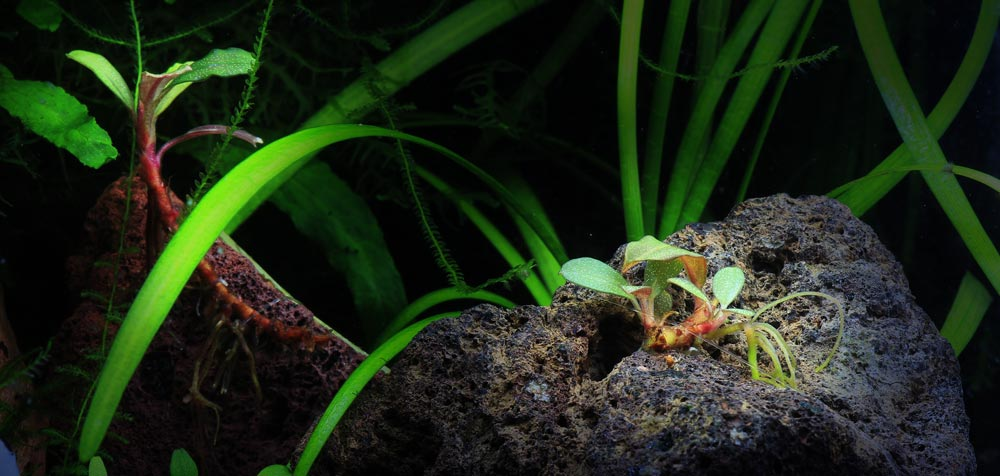Aus den intakten Bucephalandra-Wurzeln entwickeln sich nach einiger Zeit neue Triebe