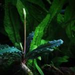 "Bucephalandra motleyana ""Melawi"""