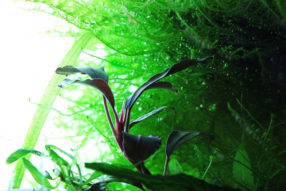 Bucephalandra superblue