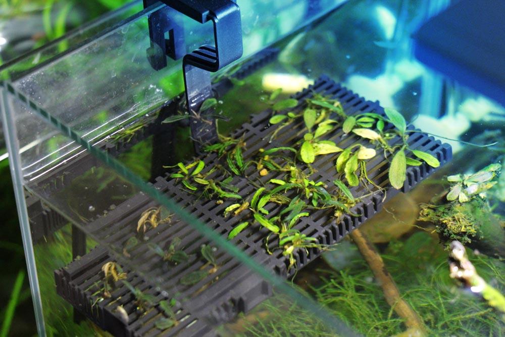 Bucephalandra Zucht