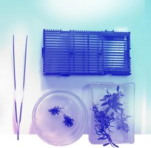 Bucephalandra schnell vermehren