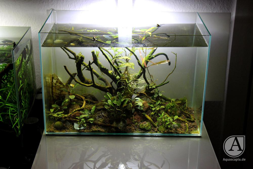 Bucephalandra Aquascape