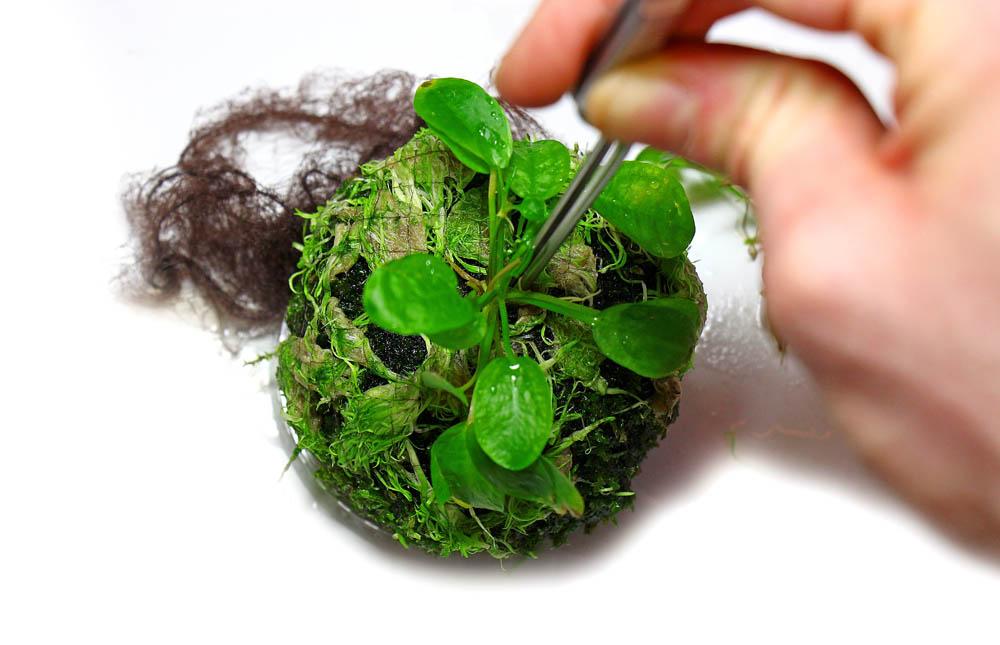 Pflanzen einsetzen Wabi-Kusa