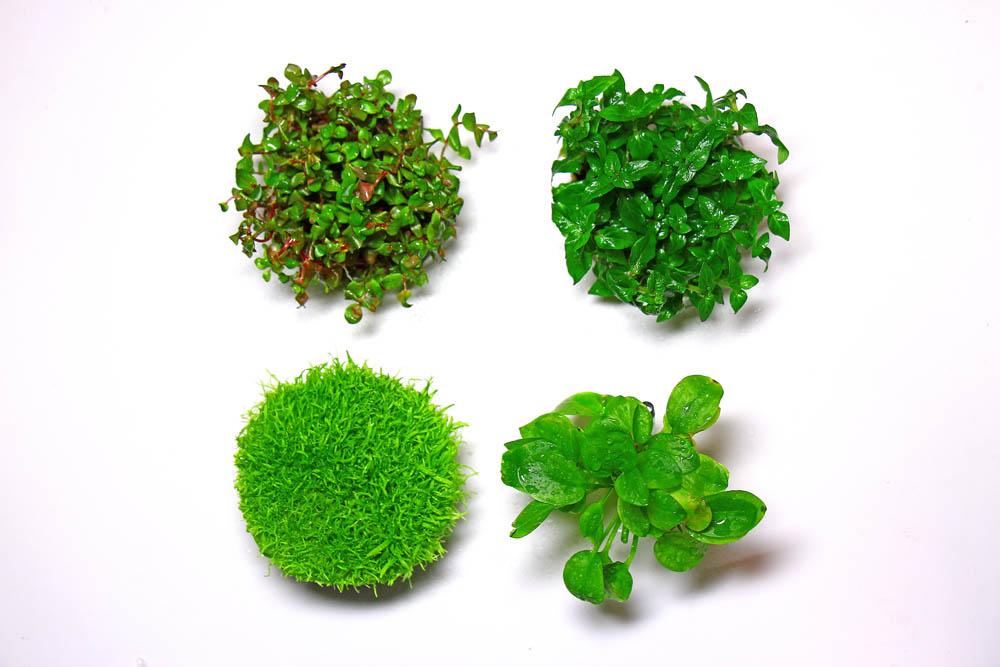 Pflanzen für Wabi-Kusa